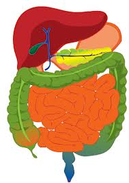 digestive process, internal, organs, digestion